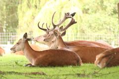 Deer @ Calke Abbey (Ross Drummond) Tags: england holiday abbey fauna wildlife derbyshire hill may deer national trust nationaltrust landmarktrust calke knowle 2011 calkeabbey