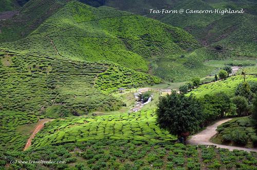 tea farm at Cameron Highland3
