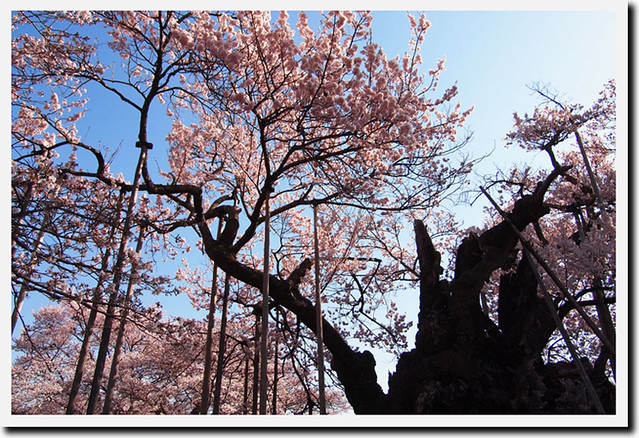 110413_080538_北杜市_実相寺_高山神代桜