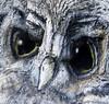 hollow (moominmama's handbag) Tags: sculpture tree painting oak trail stourhead owl hollow scraptor