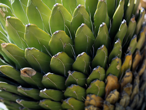 Again and Again and Again Agave