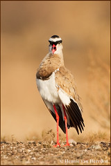 The General (hvhe1) Tags: africa bird nature animal wildlife aves safari botswana plover vogel gamedrive gamereserve mashatu crownedlapwing vanelluscoronatus crownedplover specanimal hvhe1 hennievanheerden diadeemkievit