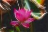 Lotus Flower - IMG_5565-1000-fra (Bahman Farzad) Tags: pink flower macro yoga peace lotus relaxing peaceful meditation therapy lotusflower lotuspetal lotuspetals lotusflowerpetals lotusflowerpetal