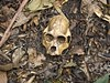 Monkey skull (Udri) Tags: travel viaje peru skull monkey mono selva cabeza iquitos amazonas calabera jungla