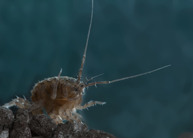water louse edited