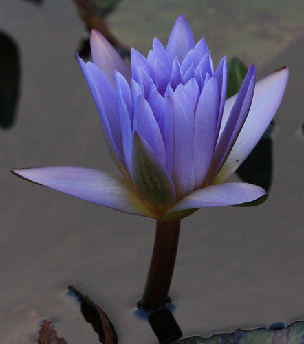 waterlily94f