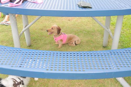 orlando dachshund meetup 030