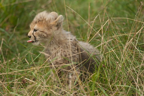 700/1000 - Baby Cheetah by Mark Carline