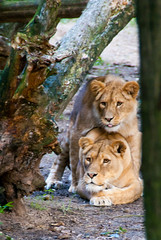 Playmates (j.elemans) Tags: wood summer holland tree nature dutch zoo poetry poem sony arnhem lion boom burgerszoo playmates gelderland a300 mygearandme mygearandmepremium mygearandmebronze mygearandmesilver ringexcellence