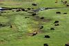Bison Vallley (wyojones) Tags: flowers water grass buffalo mud trails yellowstonenationalpark yellowstone wyoming calf bison herd sagebrush yellowstoneriver haydenvalley floodplain bisonbison buffalowallow wyojones