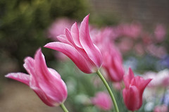 Pink (chimpancheesze) Tags: pink plant flower nature garden photography petals stem elite tulip