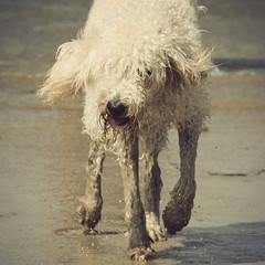 (joy7d) Tags: sea summer england dog beach wet sand cornwall lola labradoodle whatamess magicunicornverybest magicunicornmasterpiece mygearandme blinkagain