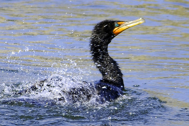 shaking double crested cormorant 2