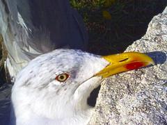 Gaviota (Luis Diaz Devesa) Tags: españa beach mobile landscape spain rocks niceshot gull mobil playa paisaje galicia gaviota rocas móvil riasbaixas illadearousa isladearosa nokia5800xpres luisdiazdevesa