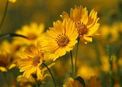 (Shutter_Hand) Tags: usa naturaleza newmexico flower nature fleur yellow jaune flora sony flor amarillo amarelo gelb giallo beercan blomma alpha 花 blume wildflower fiore gul amarilla i40 çiçek 꽃 黄色 желтый dilaw kukka цветок florsilvestre a700 फूल पीला miguelmendoza sonyalphaa700 minoltaaf70210mmf4 minoltaaf70210mmf4macro