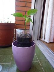 planta pimiento en botella litro y medio