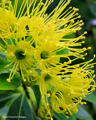 Xanthostemon chrysanthus - Golden Penda,Yellow Penda (Black Diamond Images) Tags: yellowfp australianrainforestplants australianrainforesttrees rainforesttrees myrtaceae blackdiamondimages floweringtrees yellowfloweringtrees yellow xanthostemonchrysanthus goldenpenda yellowpenda qrfp xanthostemon queensland australianrainforestflowers arfflowers australianflowers australiannativeflowers arfp australiannativeplants nativeplants australianplants australianflora rainforestplants rainforest australianrainforest australianrainforests australianrainforestplant yellowarfflowers flowersaustralian native flowersrainforest floweraustralian flower rainforestplant australiannativeplant tropicalarf lowlandarf uplandarf arfrheophyte xanthostemonchrysanthuscvfairhillgold johnstoneriverpenda blackpenda brownpenda rnrfgdb rnrfgdbarfp flowers australianrainforestflora