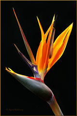Proud Bird of Paradise (Pragmatic1111) Tags: orange flower backlight nikon purple birdofparadise bloom backlit bud hdr d700 doublyniceshot doubleniceshot tripleniceshot artistoftheyearlevel3 artistoftheyearlevel4