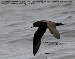 White-chinned petrel Birding Peru (5) (Nature Expedtions 07) Tags: ocean trip sea vacation bird peru nature islands marine holidays tour lima birding reserve stefan national oceanbirds trips guide seabirds paracas pelagic ballestas ballestasislands petrel expeditions pucusana marinebirds birdguide procellariidae pelagicbirds whitechinnedpetrel procellaria procellariaaequinoctialis pelagicbirding aequinoctialis whitechinned nationalreserveofparacas natureexpeditions birdinginperu austermhle birdingperu birdinginlima marinebirdsofperu oceanbirdsofperu pelagicbirdsofperu petrelsofperu