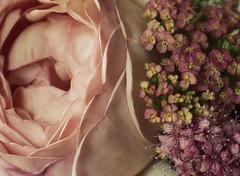 abraham darby rose (hanna.bi) Tags: pink summer david rose austin gardening abraham darby achillea spirea hannabi