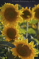 Sunflowers (Rafael Llesta) Tags: macro nature 100mm sunflower borderfx apertureprocessing