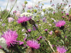 Thistles and Wildflowers (Alex Staniforth: Wildlife/Nature Photography) Tags: summer alex photography cheshire photos outdoor wildlife group pic casio staniforth stani exfh20