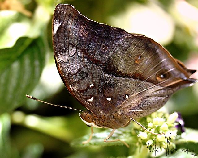 grey flutter