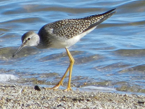 Lesser Yellowlegs Juvenile