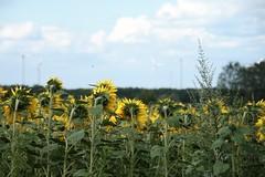136 (piaktw) Tags: summer sun flower nature windmill field yellow germany energy europe sunflower eco windturbine