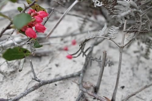 Flores nas dunas de Florianópolis