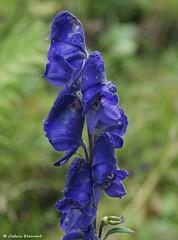 Blauer Eisenhut, NGID1144305595 (naturgucker.de) Tags: tirol aconitumnapellus blauereisenhut sterreich naturguckerde ccedrickleinert wanderwegbiszurvisnitzalm ngid1144305595