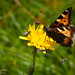 Neslesommerfugl på sveve