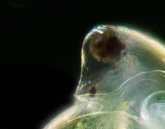 Water Flea Eye
