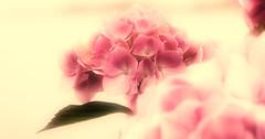 PINK DREAMS (craftedfromtheheart) Tags: ocean uk pink sea flower home nature photoshop evening flora village northernireland hydrangea atlanticocean hamlet derry castlerock coantrim cs5 colondonderry areaofoutstandingnaturalbeauty craftedfromtheheart amandakillen