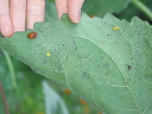 Ladybug Babies!