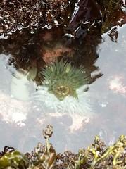 Sea anemone (lighto) Tags: beach anemone halfmoonbay seaanemone