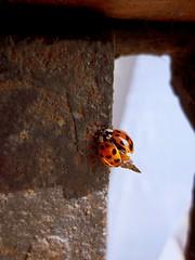Ladybug (mindmouthsoul) Tags: red insect ladybird ladybug