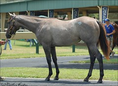OBS Select Yearling Sale (Shazstock) Tags: horse brown white black sport bay mare sale racing kings chestnut colt stallion thoroughbred equine obs ocala filly breeders gelding