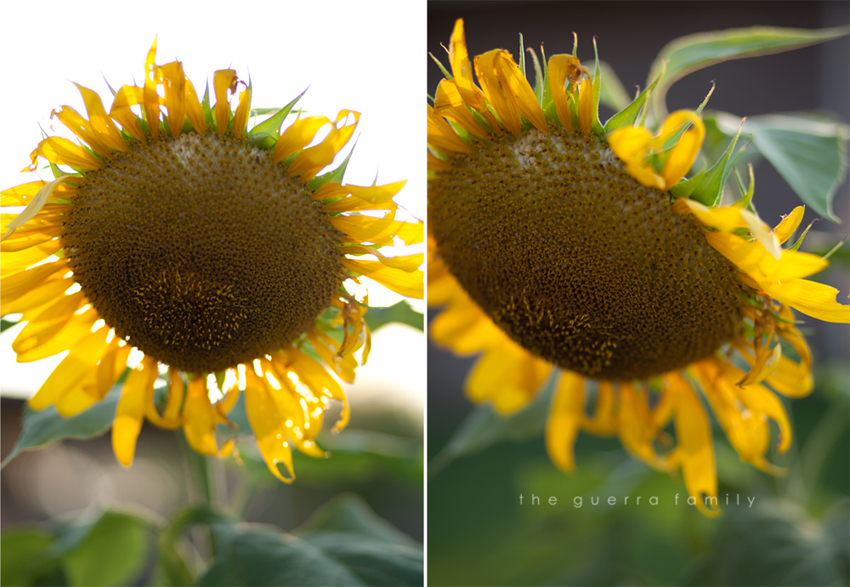 sunflowers-4