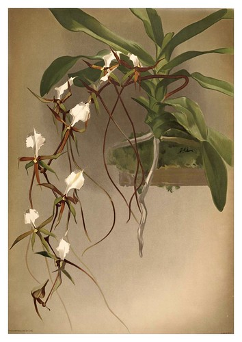 017-Angraecum Caudatum-Reichenbachia-Orchids illustrated and described..VolI I-1888-F.Sander