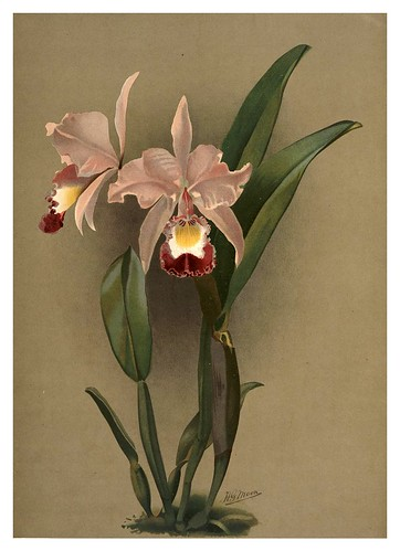 028-Cattleya Ballantiniana-Reichenbachia-Orchids illustrated and described..VolI I-1888-F.Sander
