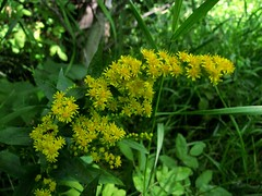 goldenrod wildflowers
