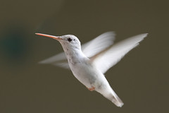 Albino / Leucistic Ruby-throated Hummingbird (Steve Byland) Tags: bird nature canon hummingbird 7d albino rubythroated archilochus colubris archilochuscolubris stunningphotogpin