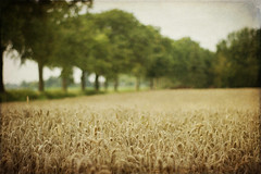 ({Miss Honey}) Tags: autumn trees summer texture nature field focus dof grain august crop niederrhein motat ruralscene tatot