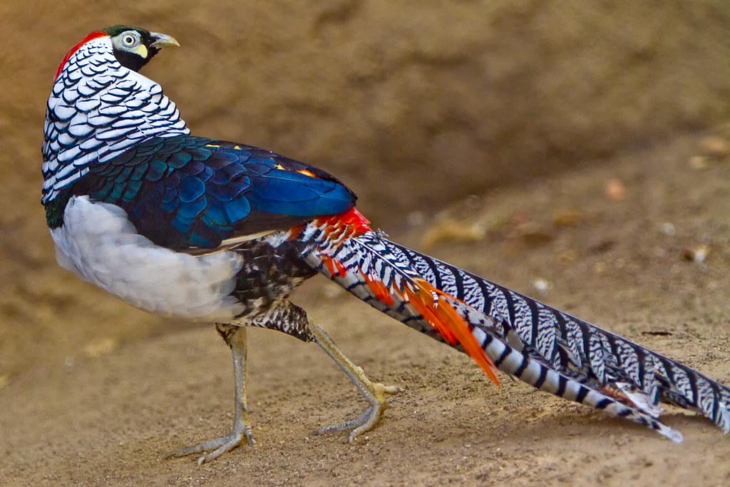 Алмазний фазан - все про тварин