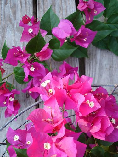 hot pink bougainvillea