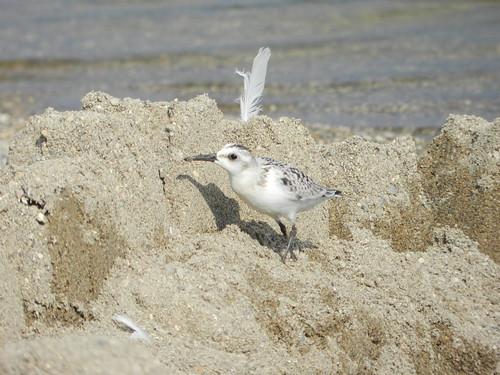 Sanderling among sand castles