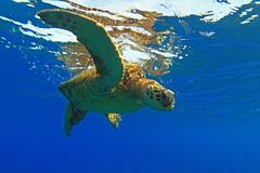 green sea turtle (bluewavechris) Tags: ocean life blue sea brown green nature water animal swim canon hawaii marine underwater snorkel turtle reptile wildlife dive shell maui scales dome creature ultrawide flipper 1022 seasea t1i
