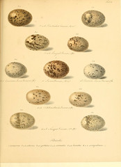 n66_w1150 (BioDivLibrary) Tags: birds smithsonian libraries eggs reproduction sil institution eggcellent pictorialworks bhl:page=13663202 dc:identifier=httpbiodiversitylibraryorgpage13663202