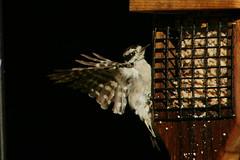 DSC06177 (dmarie13) Tags: haven birds backyard minolta sony north july ct teleconverter 2011 14x 600mm a900
